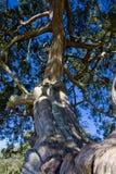 взгляд дуба старый поднимающий вверх Стоковое Изображение