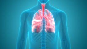 Взгляд анатомии легких органов человеческого тела Anterior Стоковые Изображения