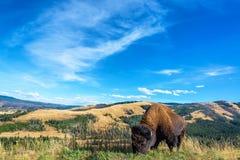 Взгляд ландшафта буйвола Стоковая Фотография RF