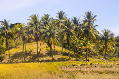 Взгляд ландшафта кокосовых пальм Стоковые Фото
