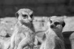 2 взгляда suricata перед собой Стоковые Изображения