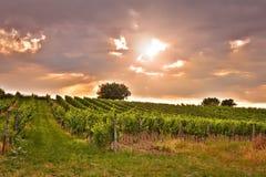 Взгляд вечера виноградников Стоковая Фотография