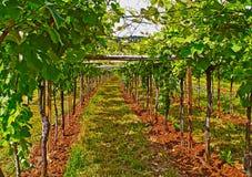 Взгляд виноградника в итальянской сельской местности Стоковые Фотографии RF