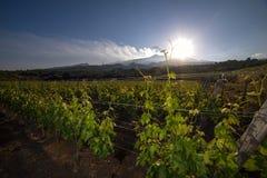 Взгляд виноградника с вулканом Этна на заднем плане Стоковая Фотография RF