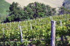 Взгляд виноградника Стоковая Фотография