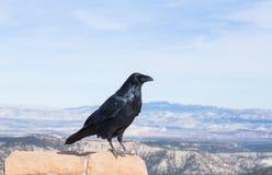 Взгляд ворона Стоковая Фотография