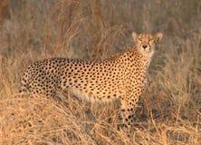 Взгляд гепарда на накаляя заходе солнца Томе Wurl Стоковые Фото