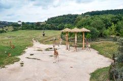 взгляд городка республики cesky чехословакского krumlov средневековый старый Прага Зоопарк Праги giraffes 12-ое июня 2016 Стоковое фото RF