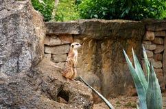 взгляд городка республики cesky чехословакского krumlov средневековый старый Прага Зоопарк Праги Meerkats 12-ое июня 2016 Стоковое Изображение