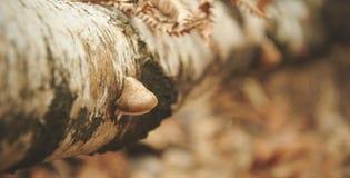 Взгляд гриба эпицентра деятельности живя на упаденном берез-дереве Малая глубина поля Стоковое фото RF