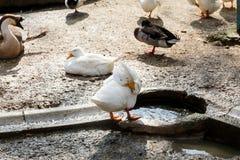 Взгляд гусыни и утки Стоковое фото RF