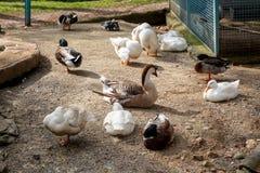 Взгляд гусыни и утки Стоковая Фотография RF