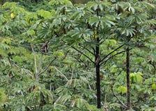 Взгляд джунглей с деревьями cecropia в Каракасе Венесуэле стоковая фотография rf