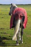 Взгляд задней части лошадей с оковалком и кабеля в его нынешнем виде в поле на яркий солнечный день Стоковые Изображения