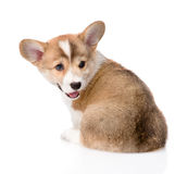 Взгляд задней части щенка Corgi Welsh Пембрука Изолировано на белизне Стоковое Изображение RF