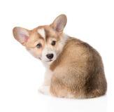 Взгляд задней части щенка Corgi Welsh Пембрука Изолировано на белизне Стоковое фото RF