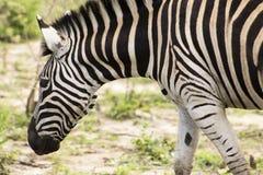 Взгляд зебры близкий поднимающий вверх Стоковая Фотография RF