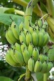 взгляд зеленого цвета банана очень Стоковая Фотография RF