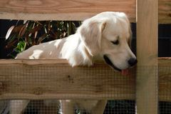 Взгляд золотого Retriever собаки через загородку Стоковое фото RF