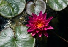 Взгляд лилии воды сверху Стоковое Изображение