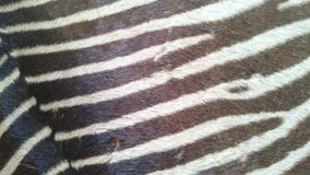 Взгляд и чувство кожи зебры реальные Стоковая Фотография