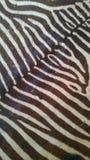 Взгляд и чувство кожи зебры реальные Стоковые Изображения