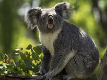 Взгляд коалы Стоковые Изображения