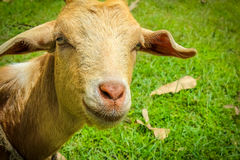 Взгляд козы Стоковые Изображения RF