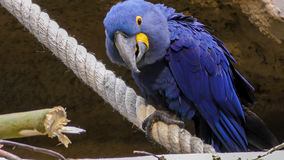 Взгляд конца-вверх ары гиацинта Стоковое Фото