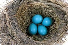 Взгляд конца-вверх гнездя птицы Робина Стоковые Изображения