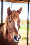 Головка лошади Стоковое фото RF