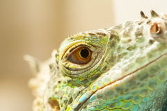 Взгляд конца-вверх глаза ящерицы Стоковая Фотография RF