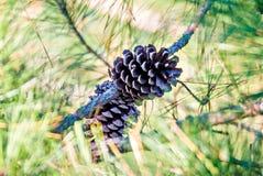 Взгляд конца-вверх конуса сосны кедра на дереве самый общий тип Стоковые Изображения