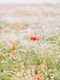Взгляд конца-вверх мака среди белых цветков в поле Стоковые Изображения