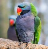 Взгляд конца-вверх мужского длиннохвостого попугая лорда Дерби Стоковые Изображения