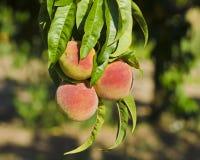 Взгляд конца-вверх персиков на запачканном дереве на солнечный день с Стоковые Фото