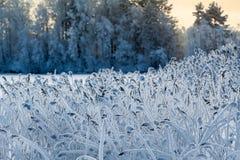 Взгляд конца-вверх тростника в белом заморозке на береге озера зимы Стоковые Изображения