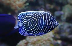 Взгляд конца-вверх ювенильного angelfish императора Стоковые Фото