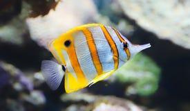 Взгляд конца-вверх Butterflyfish Стоковая Фотография