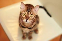 Взгляд кота Бенгалии на вас Стоковые Фотографии RF