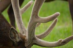 Взгляд крайности близкий поднимающий вверх северного оленя Стоковое Фото