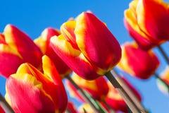 Взгляд красивых оранжевых тюльпанов, Нидерланды макроса Стоковые Фотографии RF