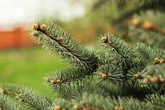 Взгляд крупного плана ветвей и игл ярких ых-зелен елевых дерева Стоковая Фотография RF