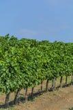 Взгляд крупного плана виноградной лозы с строкой виноградин против голубого неба Стоковые Изображения RF