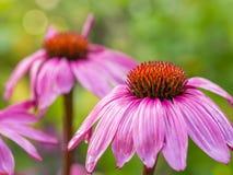 Взгляд крупного плана влажного, розового coneflower Стоковые Изображения