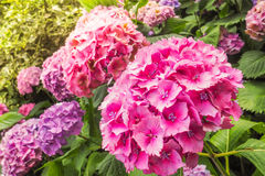 Взгляд крупного плана красивых розовых цветков Hortensia в саде Стоковое Изображение