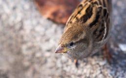 Взгляд крупного плана смешной птицы воробья Стоковая Фотография RF