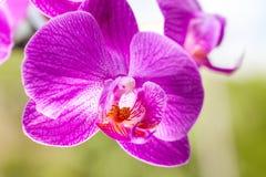 Взгляд крупного плана фиолетового цветка орхидеи Стоковые Изображения