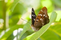 Взгляд макроса бабочки Брайн подогнал насекомое картины на предпосылке лист растительности, поле малой глубины взгляда макроса Стоковое Фото