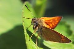 Взгляд макроса живой бабочки зеленой предпосылки лист Стоковые Фотографии RF